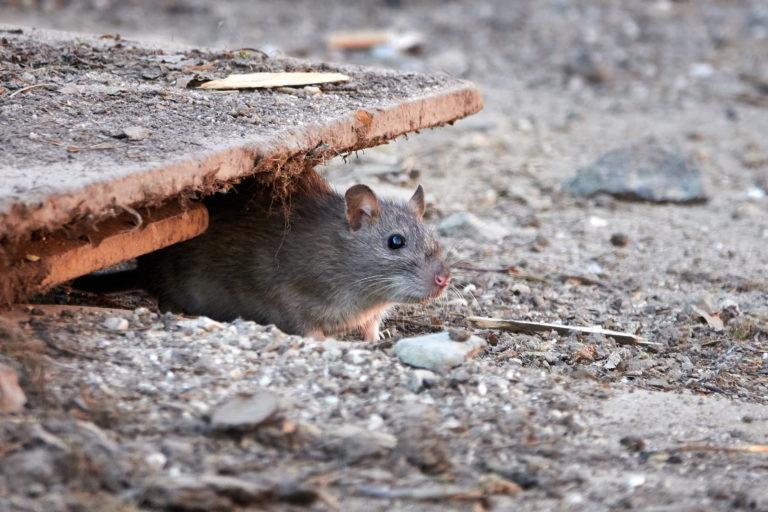 Desratización - Control de Plagas de Ratas y Ratones
